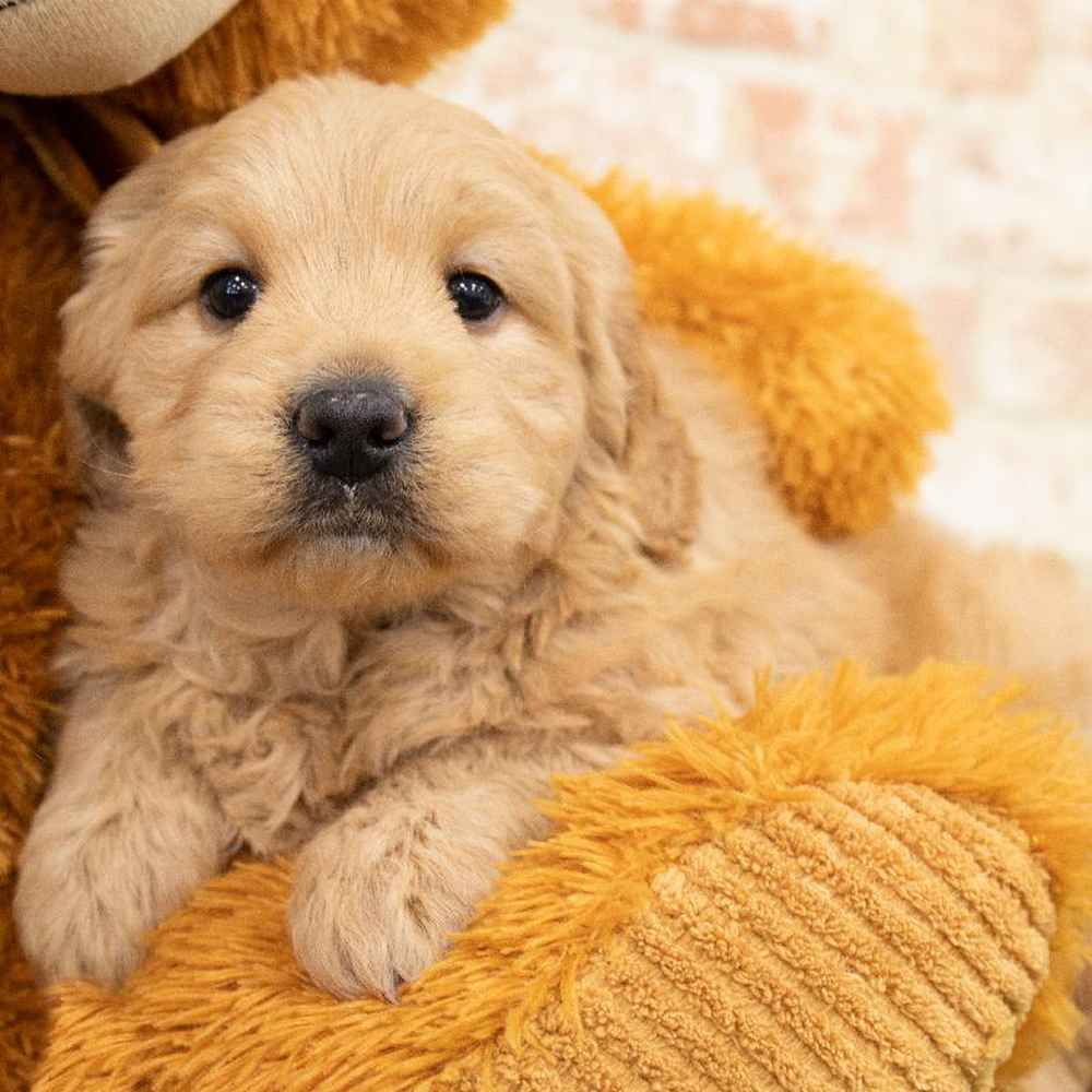 Female Mini Goldendoodle Puppy for sale