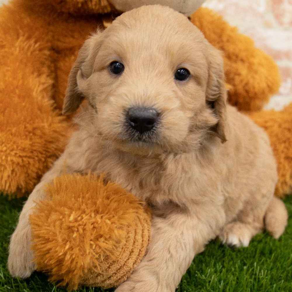 Male Mini Goldendoodle Puppy for sale